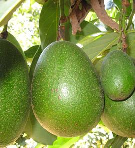 Largest avocado fruits7